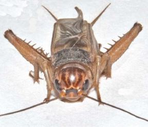 Gryllus locorojo, a species discovered being sold as reptile feeders. Picture courtesy of Weissman et. al, 2012.