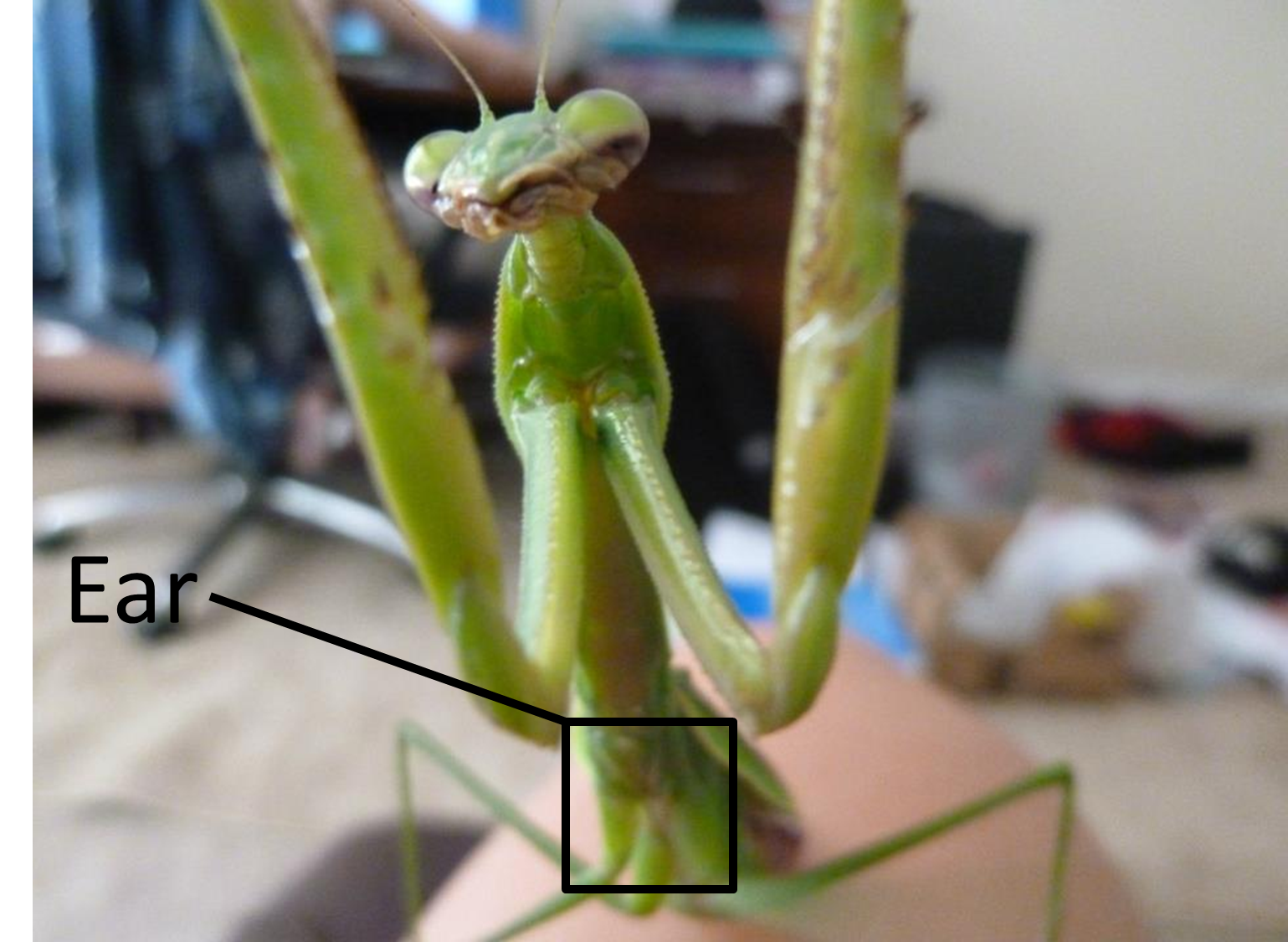 why do mantids only have one ear ask an entomologist